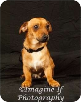 Chihuahua/Dachshund Mix Dog for adoption in Edmond, Oklahoma - Happy