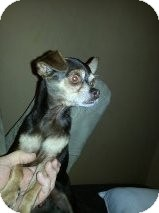 Chihuahua Mix Dog for adoption in Las Vegas, Nevada - Randy