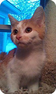 Domestic Shorthair Kitten for adoption in Cleveland, Ohio - Jasper
