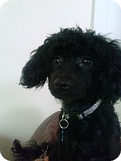 Poodle (Miniature) Dog for adoption in Van Nuys, California - Annie