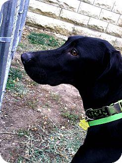 Weimaraner/Labrador Retriever Mix Dog for adoption in Fort Riley, Kansas - Slim Jim
