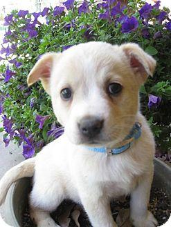 Labrador Retriever Mix Puppy for adoption in Stephenville, Texas - April