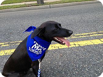 Feist/Labrador Retriever Mix Dog for adoption in Edgewater, New Jersey - Benji