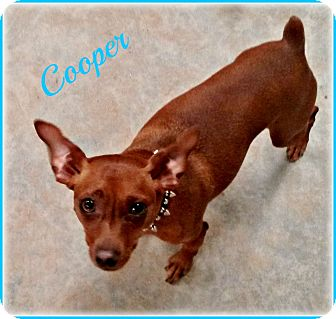 Miniature Pinscher Dog for adoption in Sacramento, California - Cooper