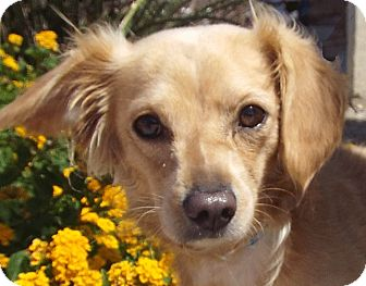 Terrier (Unknown Type, Small) Mix Dog for adoption in Las Vegas, Nevada - Fluffy
