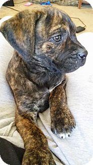 Cane Corso/Bullmastiff Mix Puppy for adoption in HESPERIA, California - tara
