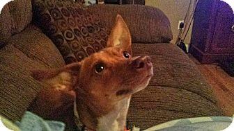 Chihuahua/Basenji Mix Dog for adoption in West Allis, Wisconsin - Yoda