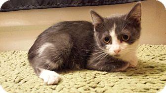 Domestic Mediumhair Kitten for adoption in Irwin, Pennsylvania - Annabelle