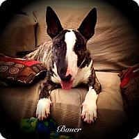 Adopt A Pet :: Bauer - Sachse, TX