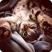 Domestic Shorthair Cat for adoption in New York, New York - Brittany