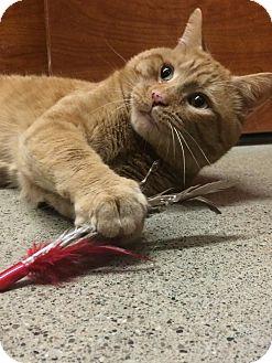 Domestic Shorthair Cat for adoption in Oakville, Ontario - Reddington