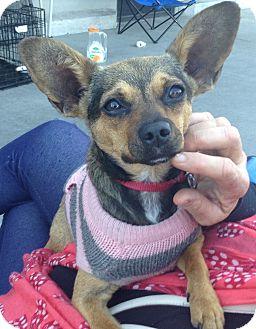 Chihuahua/Corgi Mix Dog for adoption in Santa Ana, California - Rosie