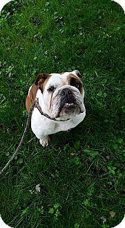 English Bulldog Dog for adoption in Park Ridge, Illinois - Greenlee