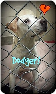 Labrador Retriever Mix Dog for adoption in Bryan, Texas - Dodger