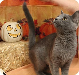 Russian Blue Cat for adoption in Stockton, California - Kiwi