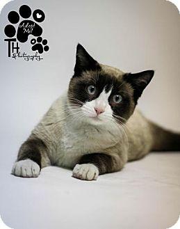 Snowshoe Cat for adoption in Sauk Rapids, Minnesota - Moo Shoo