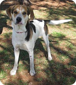 Coonhound (Unknown Type) Mix Dog for adoption in Huntsville, Alabama - Walker