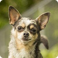 Adopt A Pet :: Confetti - Port Washington, NY