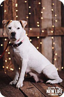 Australian Cattle Dog/Pit Bull Terrier Mix Dog for adoption in Portland, Oregon - Joanie