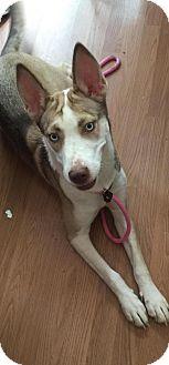 Siberian Husky/Husky Mix Dog for adoption in Charlotte, North Carolina - Winter