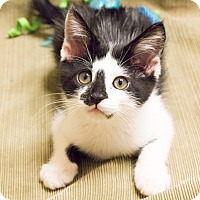 Adopt A Pet :: Scribbles - Chicago, IL
