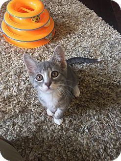 Domestic Shorthair Kitten for adoption in Tega Cay, South Carolina - Roxie