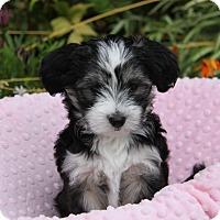 Adopt A Pet :: SAPPHIRE - Newport Beach, CA