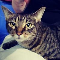 Adopt A Pet :: Sheba - Trevose, PA