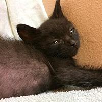 Adopt A Pet :: Midnite - Santa Monica, CA