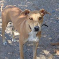 Adopt A Pet :: Shyla - Las Cruces, NM