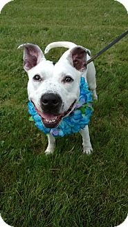Pit Bull Terrier Mix Dog for adoption in Glocester, Rhode Island - Diamond