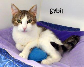 Domestic Shorthair/Domestic Shorthair Mix Cat for adoption in Kansas City, Missouri - Sybil