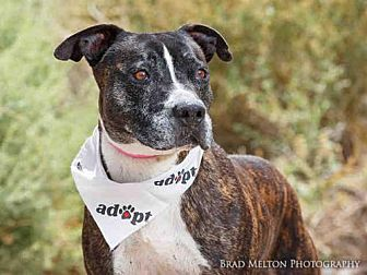 American Pit Bull Terrier Dog for adoption in Albuquerque, New Mexico - TIMON