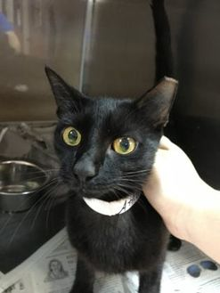 Domestic Shorthair/Domestic Shorthair Mix Cat for adoption in Miami, Florida - Athena