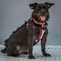 Adopt A Pet :: Joy - St Louis, MO