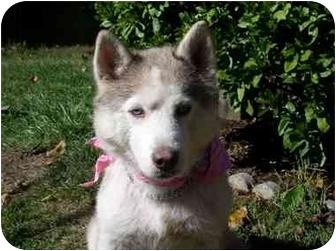 Siberian Husky Dog for adoption in Boyertown, Pennsylvania - Misty 2