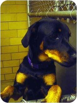 Labrador Retriever/Doberman Pinscher Mix Dog for adoption in Freeport, New York - Natasha