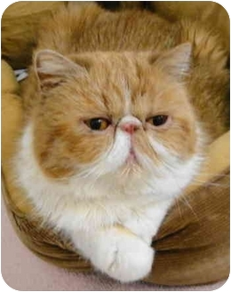 Persian Cat for adoption in Beverly Hills, California - Honey