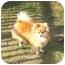 Photo 4 - Pomeranian Dog for adoption in Roebuck, South Carolina - Ben adopted