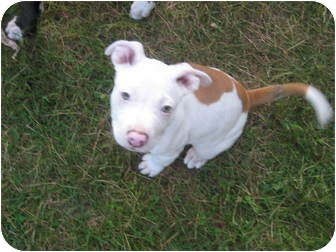 Pit Bull Terrier Mix Puppy for adoption in Worcester, Massachusetts - Sadie Belle
