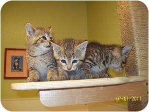 Domestic Shorthair Kitten for adoption in Barron, Wisconsin - Linc
