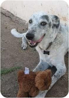 Catahoula Leopard Dog Mix Dog for adoption in Gilbert, Arizona - Susie