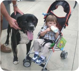 Mastiff/Terrier (Unknown Type, Medium) Mix Dog for adoption in Spring Valley, New York - Tiger