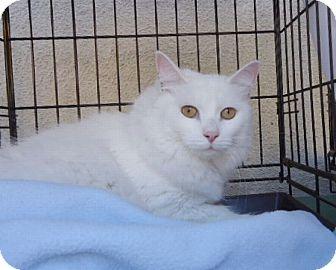 Domestic Longhair Cat for adoption in Berkeley, California - Camille