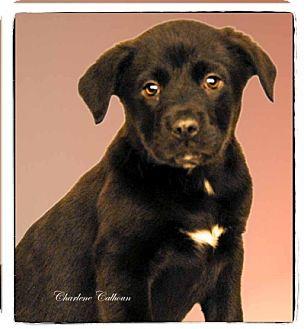 Labrador Retriever Mix Puppy for adoption in Newland, North Carolina - Zeus