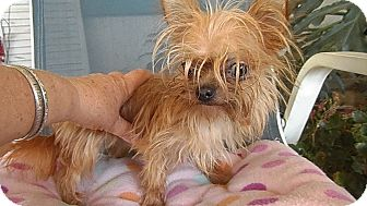 Yorkie, Yorkshire Terrier Mix Dog for adoption in Riverside, California - Tinkerbelle