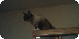 Snowshoe Cat for adoption in Crosby, Texas - Lollipop