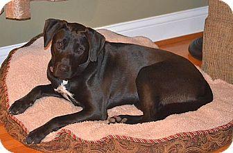 Labrador Retriever/Terrier (Unknown Type, Medium) Mix Dog for adoption in Staunton, Virginia - McCoy