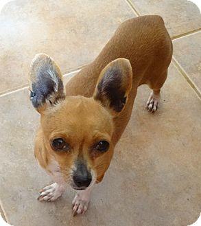 Chihuahua Dog for adoption in Tucson, Arizona - Rosita