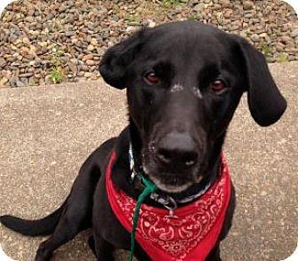 Labrador Retriever Mix Dog for adoption in Corvallis, Oregon - Jake